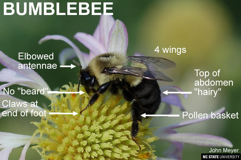 Bumblebee characteristics