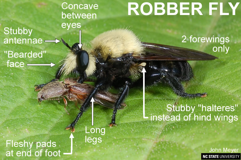 Robber fly adult