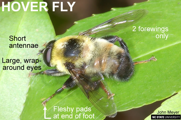 Hover fly adult