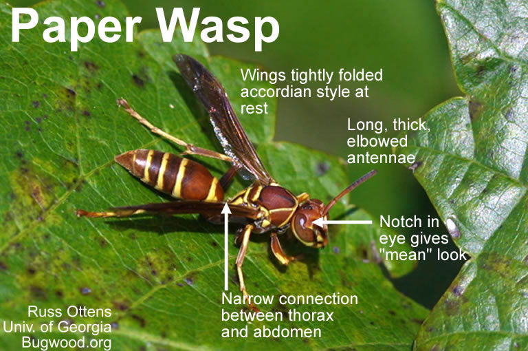 Paper Wasp identifying features