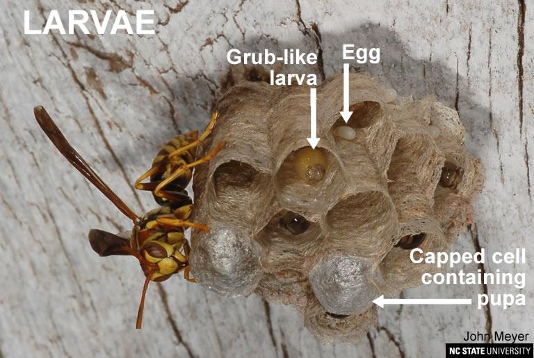 Paper wasp larvae