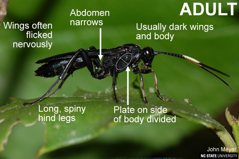 Spider wasp adult