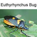 Euthyrhynchus Bug adult
