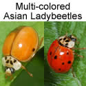 two Multi-colored Asian Ladybeetles