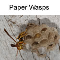 Paper wasp with egg cases