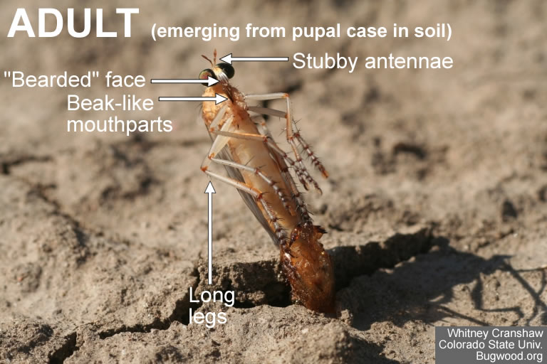 Robber fly eclosing