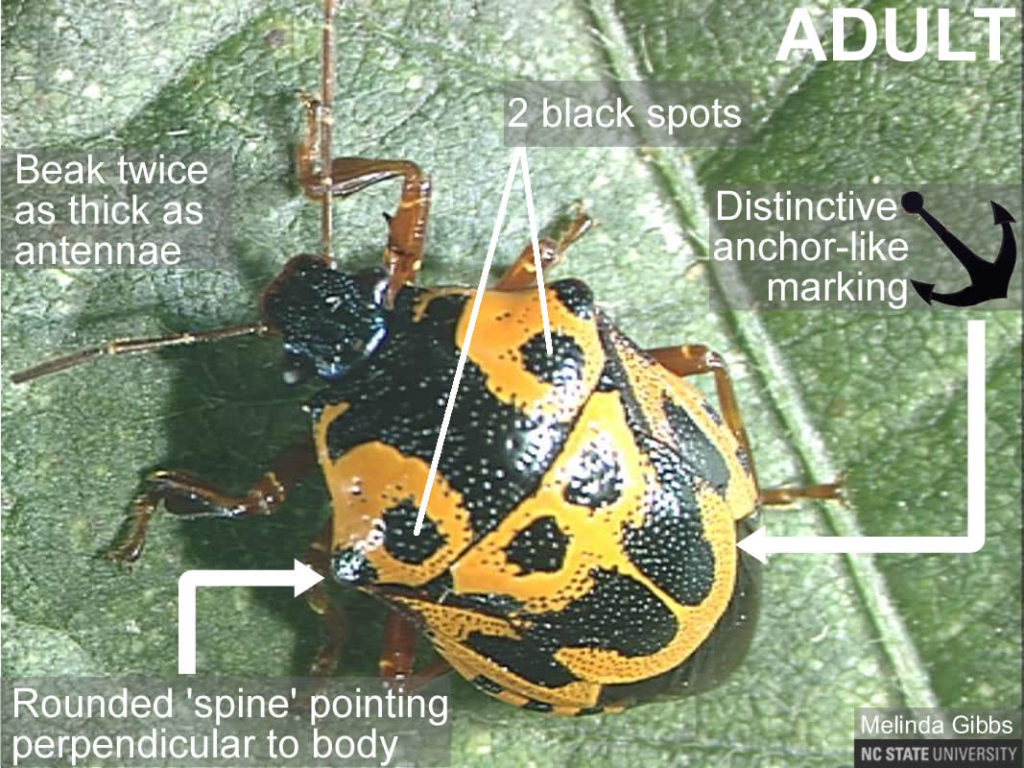 Anchor bug adult