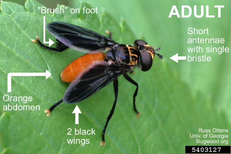 Trichopoda fly adult