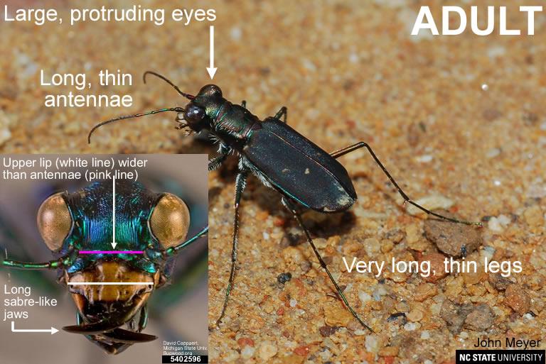 Tiger beetle adult
