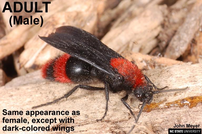 Adult male velvet ant