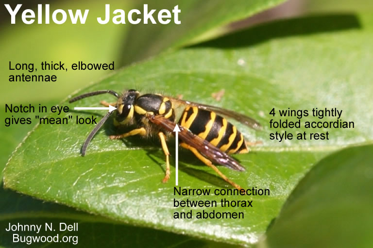 Yellow Jacket identifying features