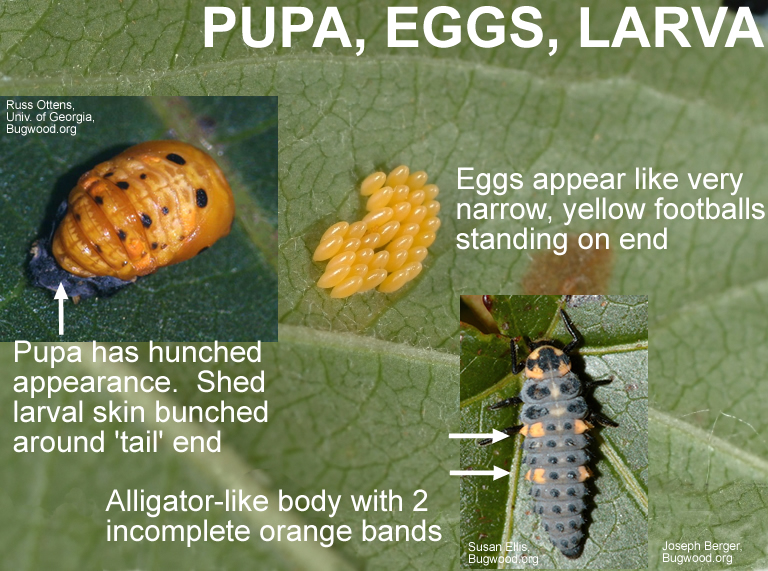 Septempunctata pupa, eggs and larva