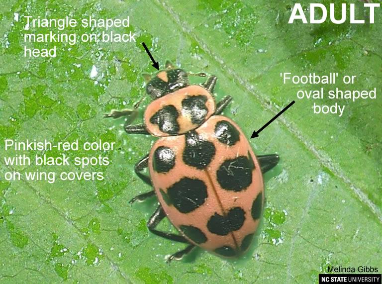 C-mac Ladybeetle adult
