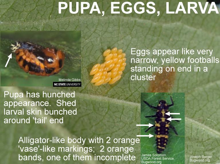 C-mac Ladybeetle Pupa and Eggs