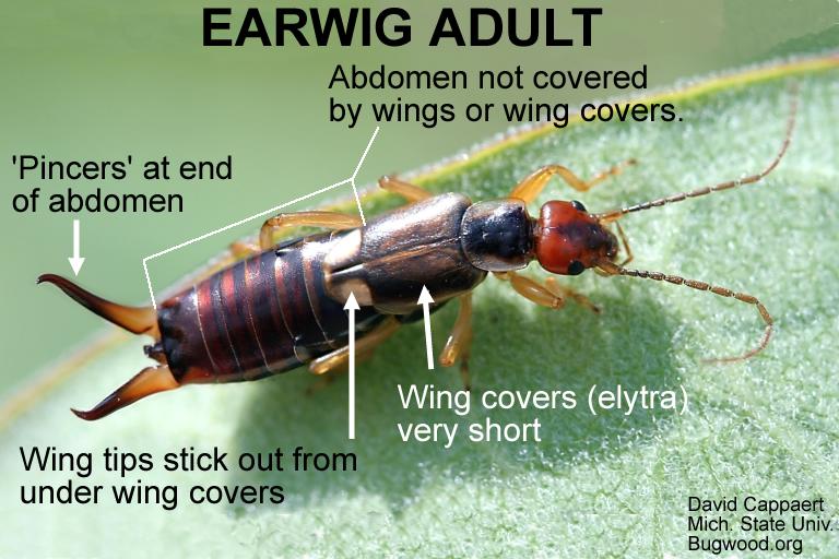 Adult Earwig