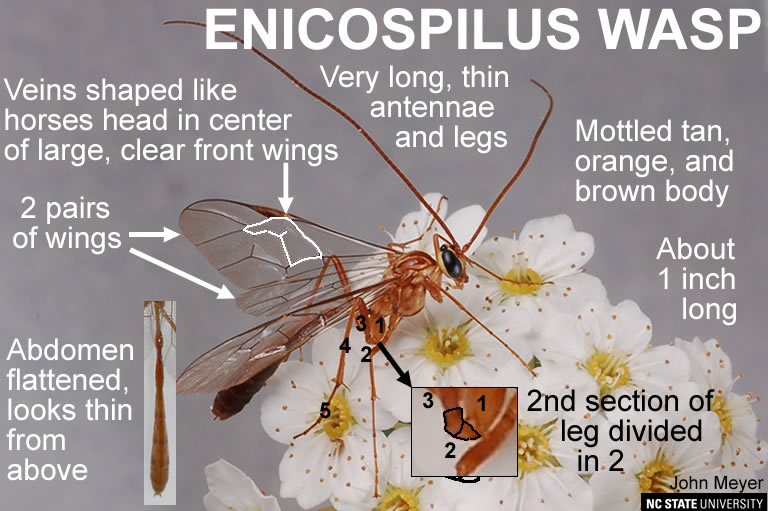 Enicospilus wasp adult