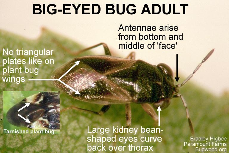 Big-eyed bug adult