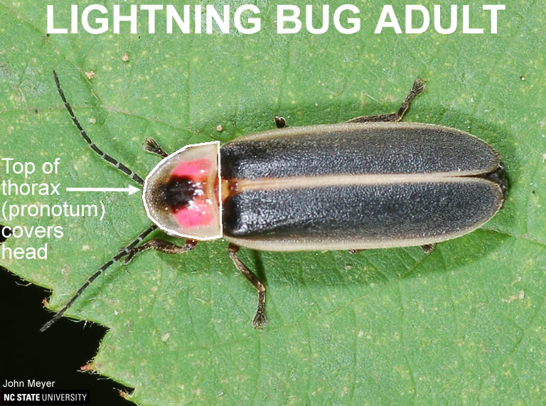 Features distinguishing lightning bug from soldier beetle.
