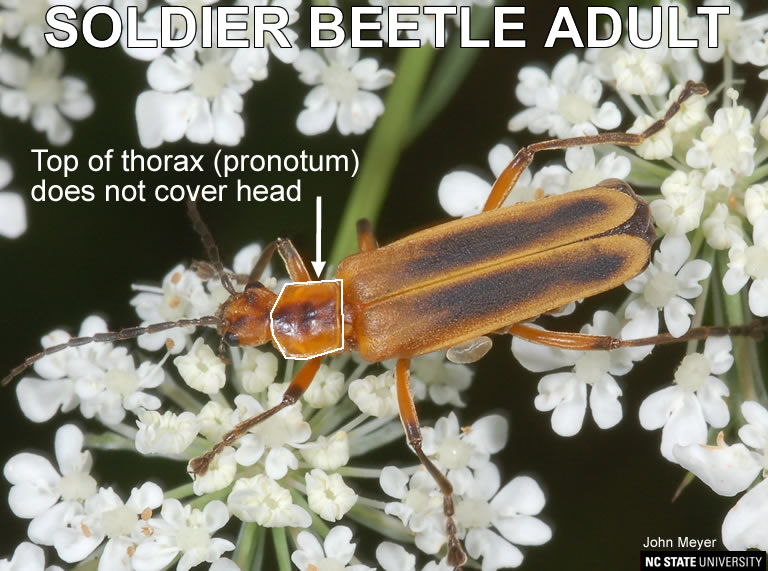 Features distinguishing soldier beetle from lightning bug.