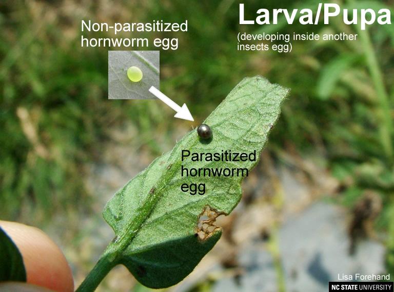 Trichogramma wasp larva / pupa