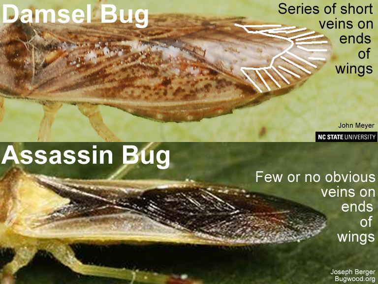 Wings of damsel bug and assassin bug