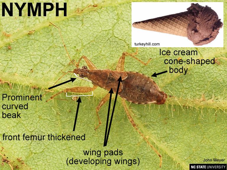 Damsel bug nymph