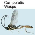 Campoletis wasps