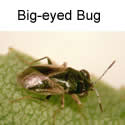 Big-eyed bug adult