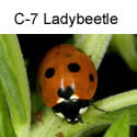 C-7 Ladybeetle