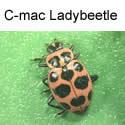 C-Mac Ladybeetle