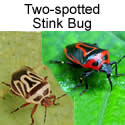 Two-spotted Stink bug