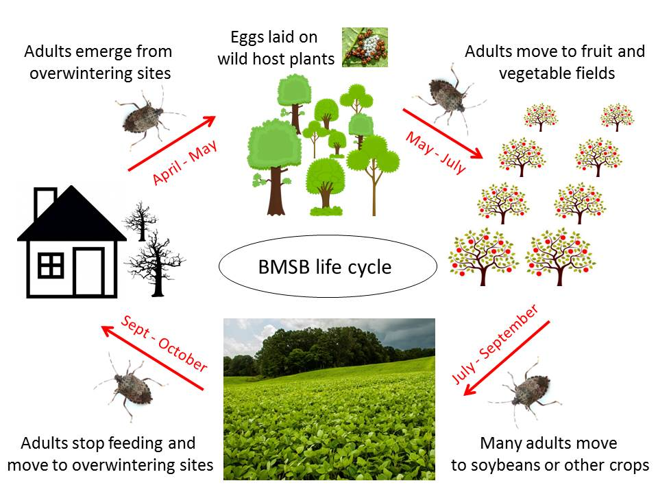 Diagram of BMSB life cycle