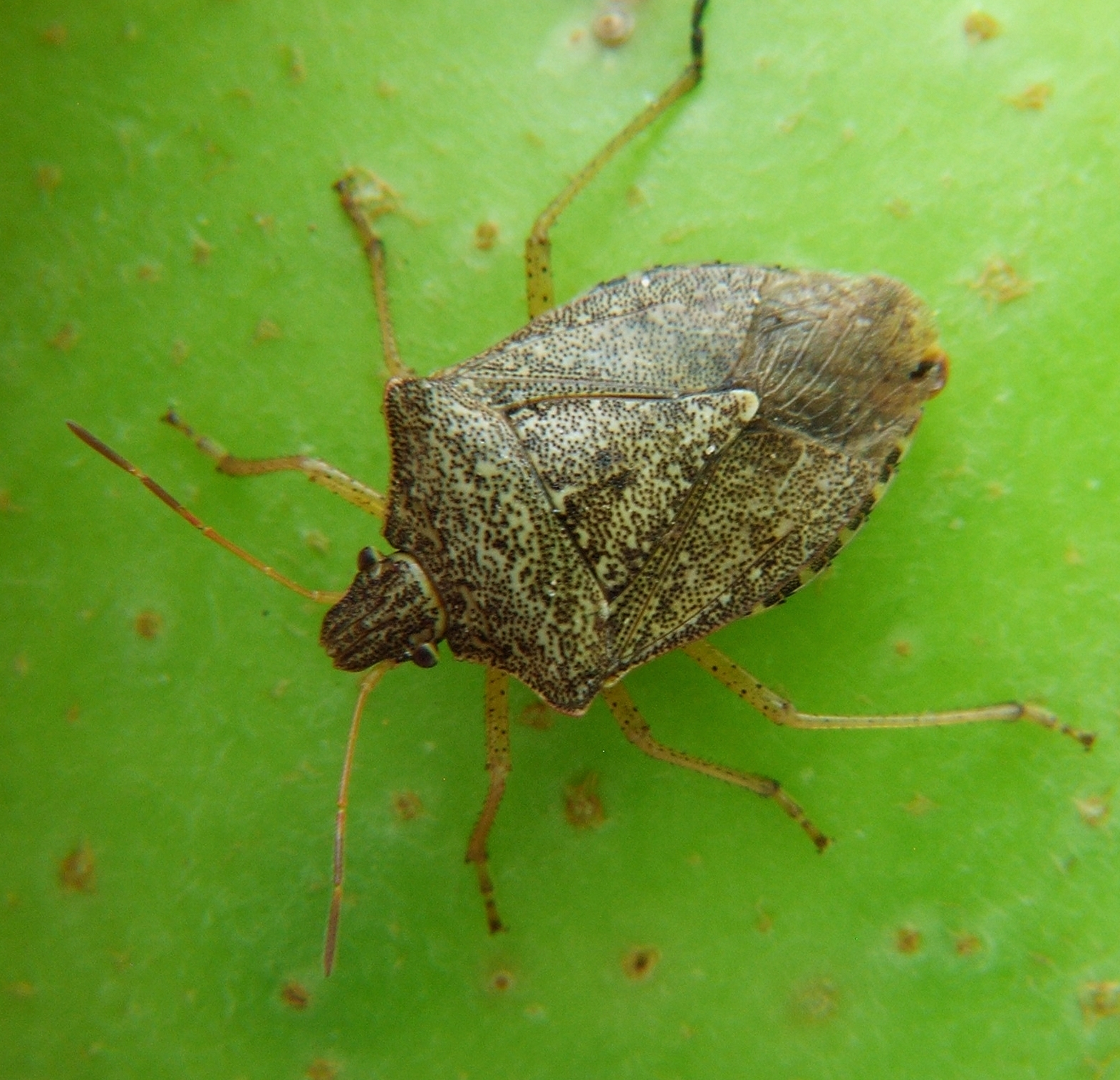 FAQs: Brown Marmorated Stink Bug | NC State Extension