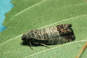Codling moth adult
