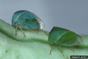 Cover photo for Grape Pest Survey - 1st Week of June