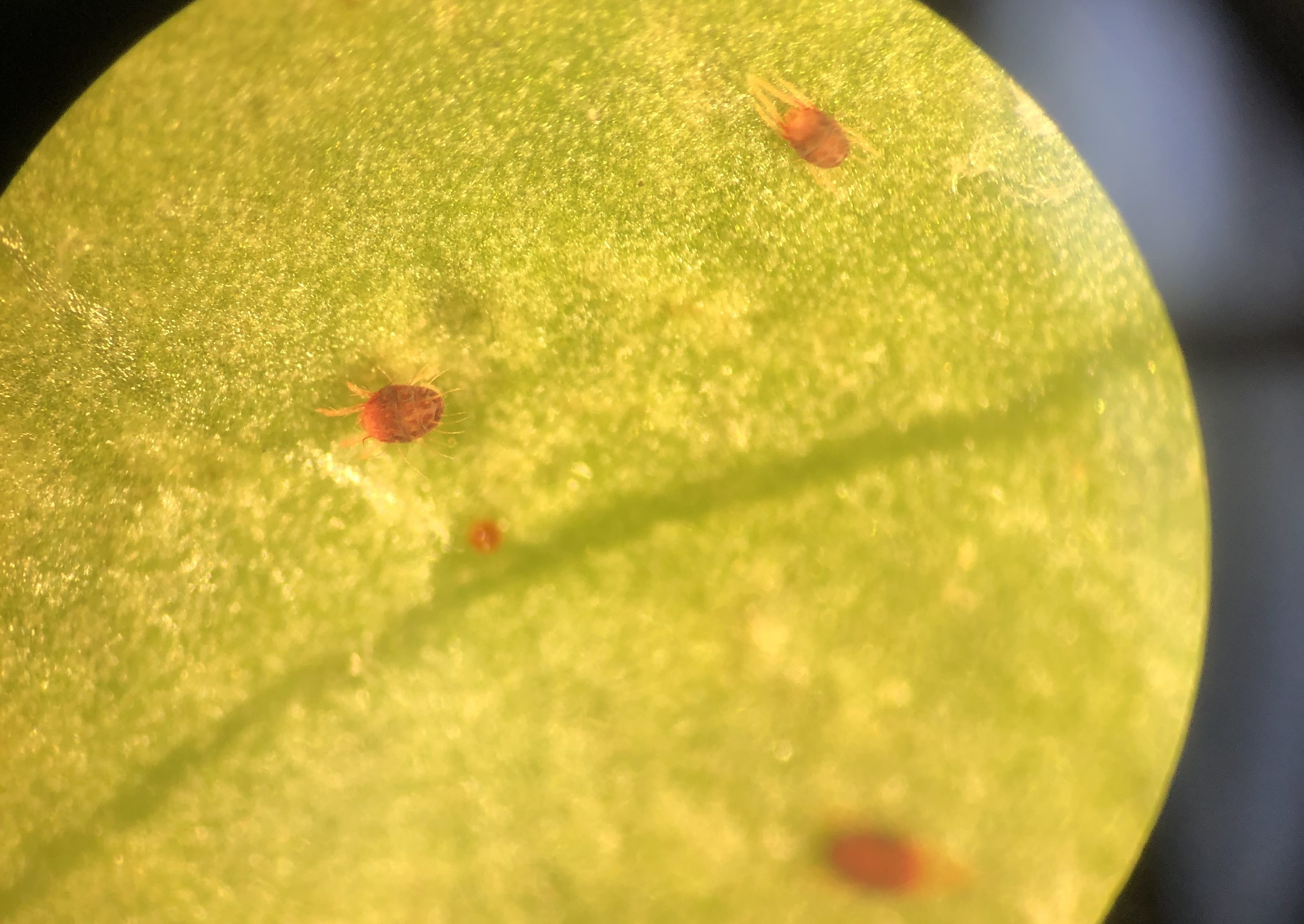 Southern red mites and eggs on cherry laurel