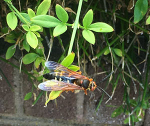 Cicada killer wasp on foliage