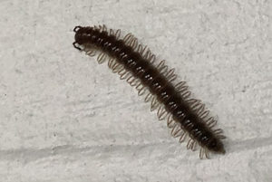 Millipede on house siding