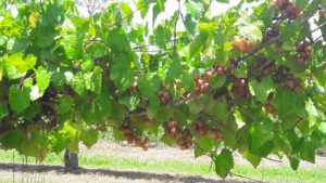 Muscadine grapes. New Hanover Co.