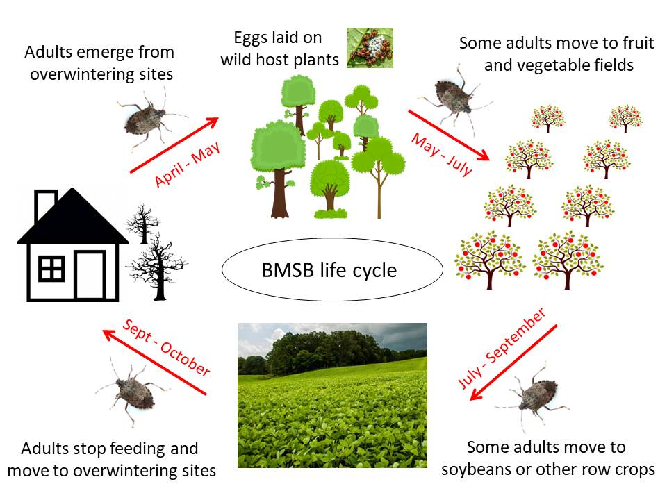 Diagram of brown marmorated stink bug life cycle in North Carolina