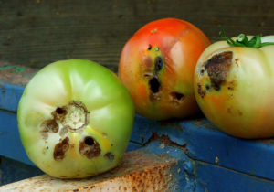 Fig. 2. Damage to tomato fruit caused by caterpillar pests (such as tomato fruitworm) makes fruit unmarketable. (Photo: Steve Schoof)
