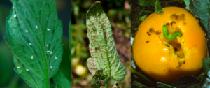 Fig. 7. Insecticides used in chemigation are effective at managing most insect pests in vegetables, such as whiteflies, aphids, and caterpillars. (Photos: Steve Schoof and Jim Walgenbach))