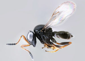Trissolcus japonicus, also known as the samurai wasp, an exotic natural enemy of BMSB. (Photo: Elijah Talamas, ARS-USDA)