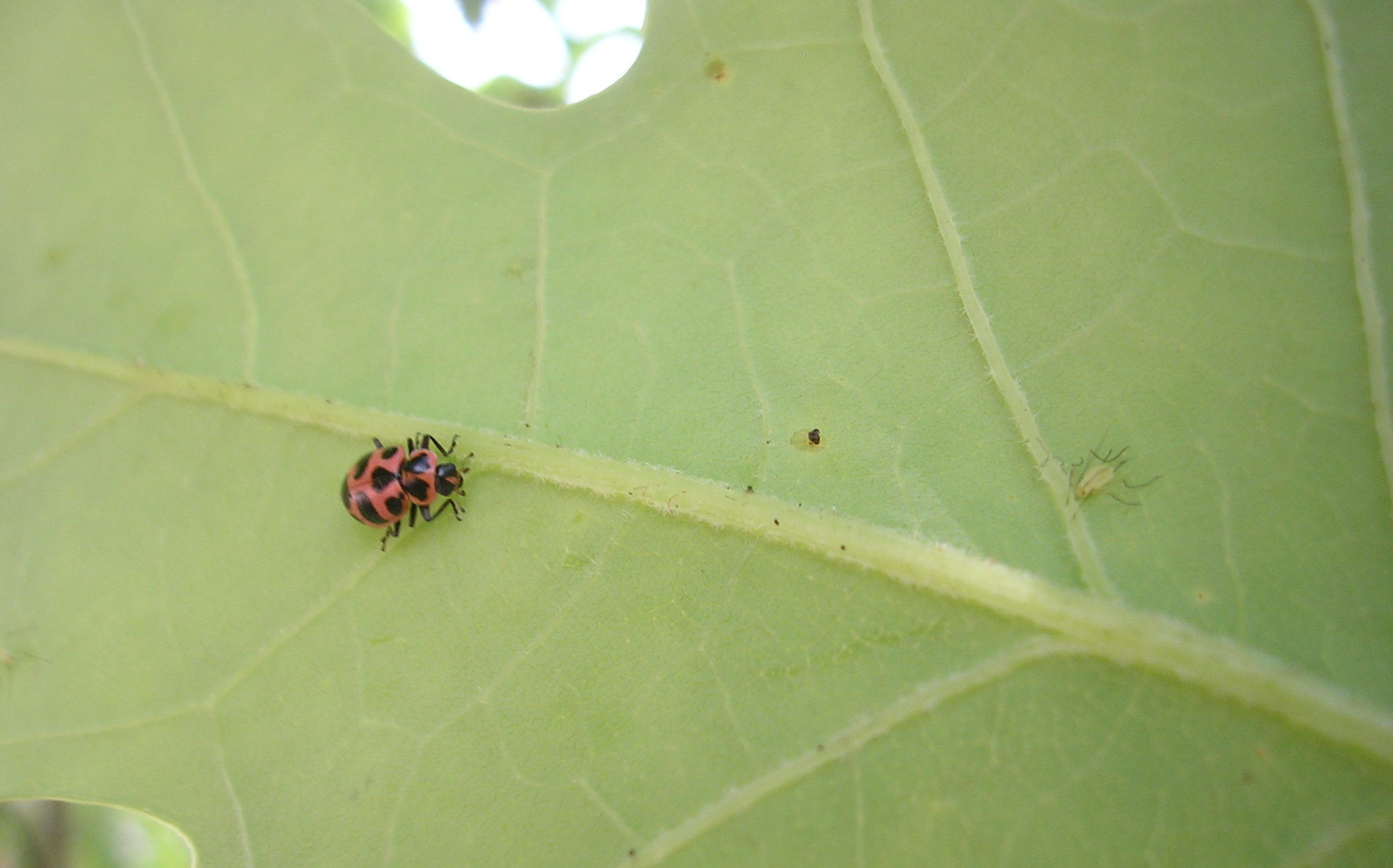 Native lady beetle stalking a tulip tree aphid. Photo: SD Frank