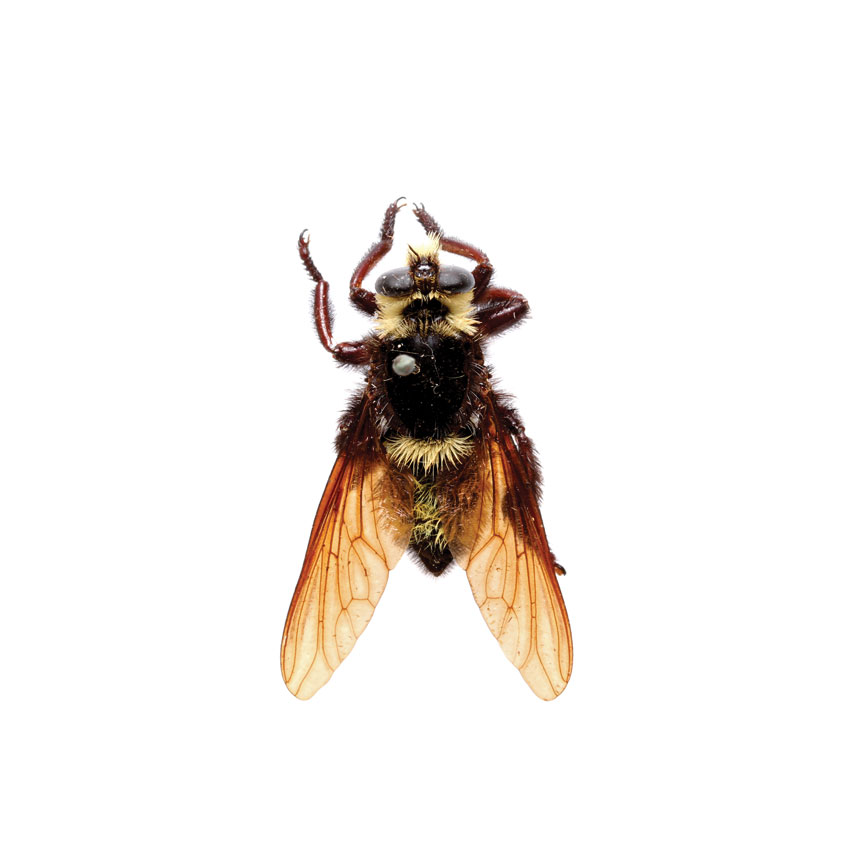 Bee Robber Fly, Mallophora sp.