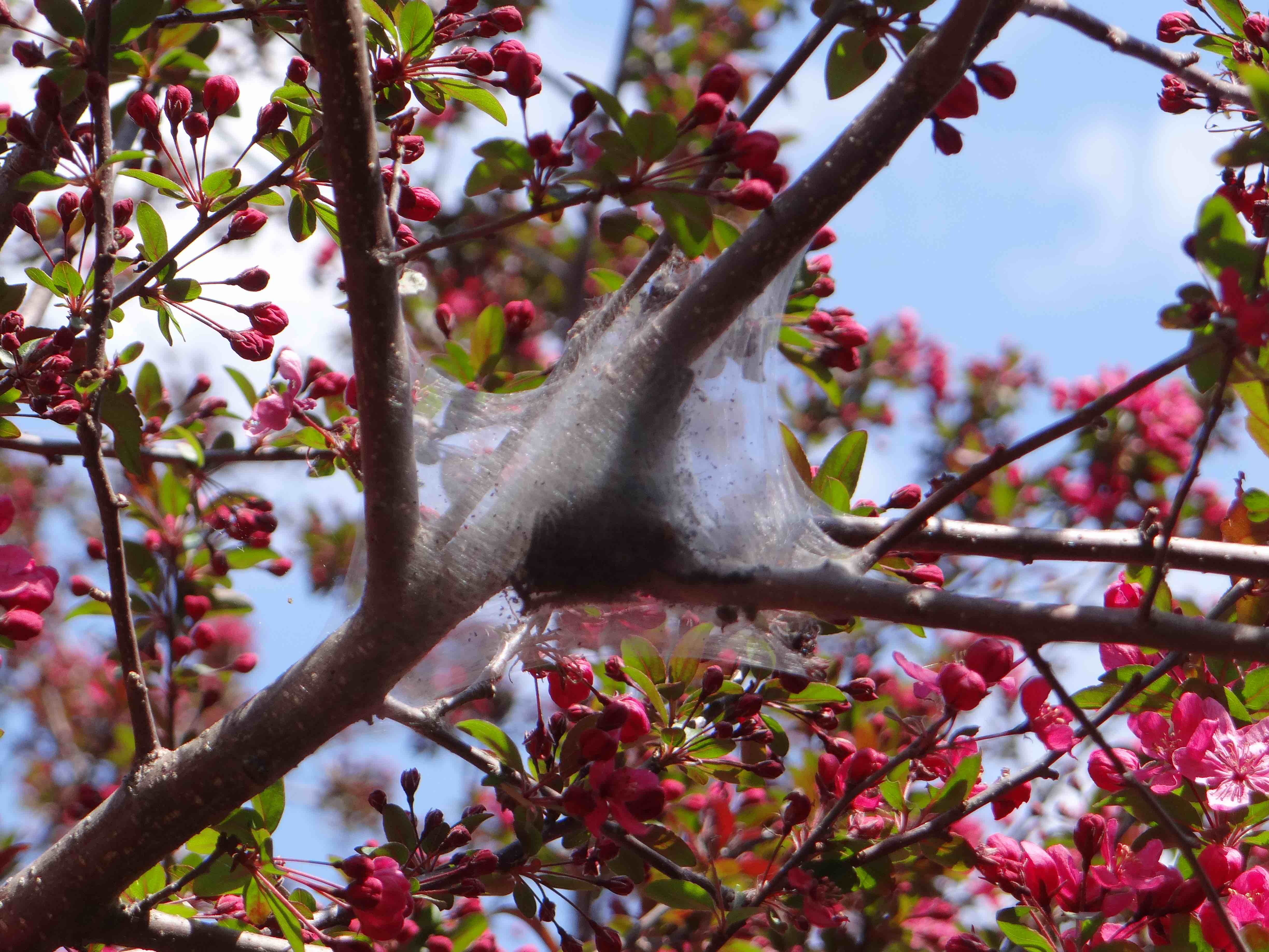 Eastern tent caterpillar tent in flowering crab apple tree. Photo: SD Frank