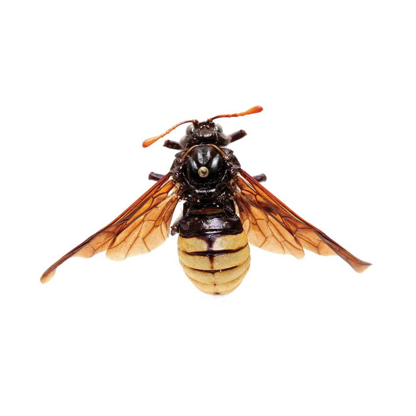 Elm Sawfly, Cimbex americana