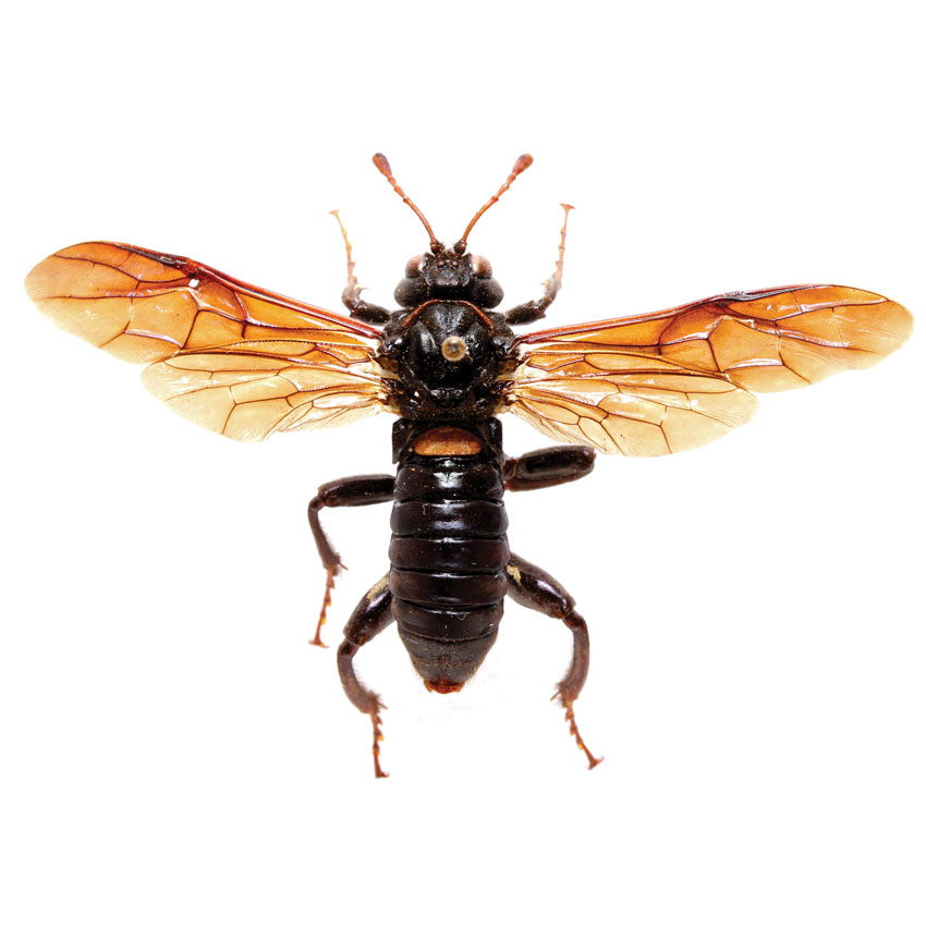 Elm Sawfly (male), Cimbex americana