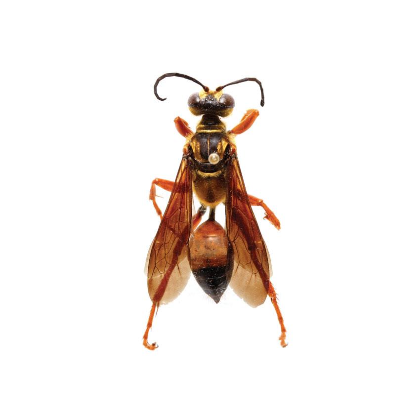 Great Golden Digger Wasp, Sphex ichneumoneous