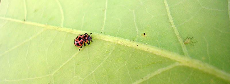 ative lady beetle stalking an aphid. Photo: SD Frank